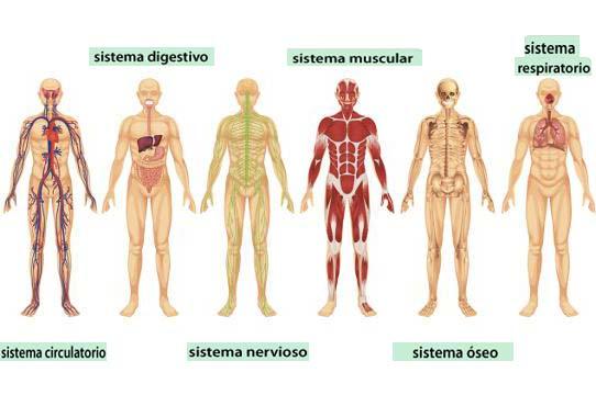 Conoces los sistemas y aparatos del cuerpo humano? - QueCuriosidades.com