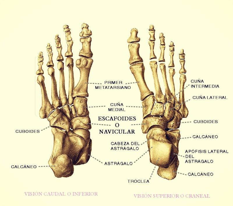 Cuántos huesos tiene el pie? - QueCuriosidades.com