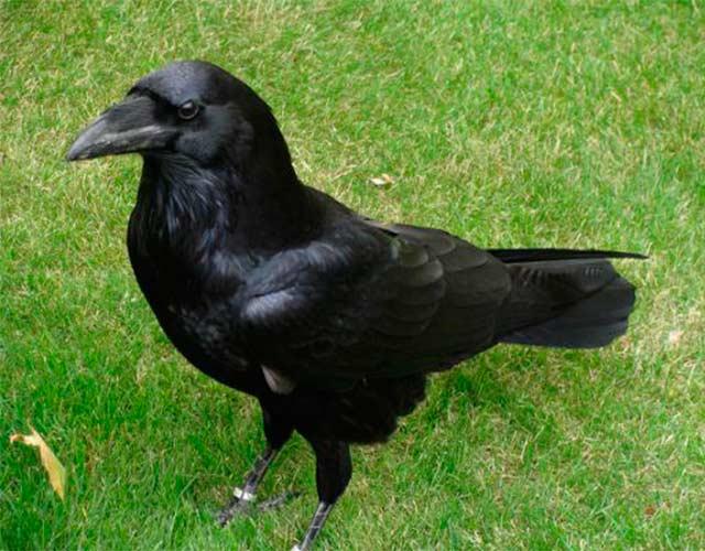 Datos interesantes sobre los cuervos